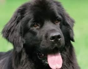 Демонстрація любові у собак або чому собака лиже людини фото