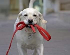 Як привчити собаку до нашийника і повідка? фото